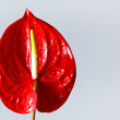 Red flamingo flower — Stock Photo