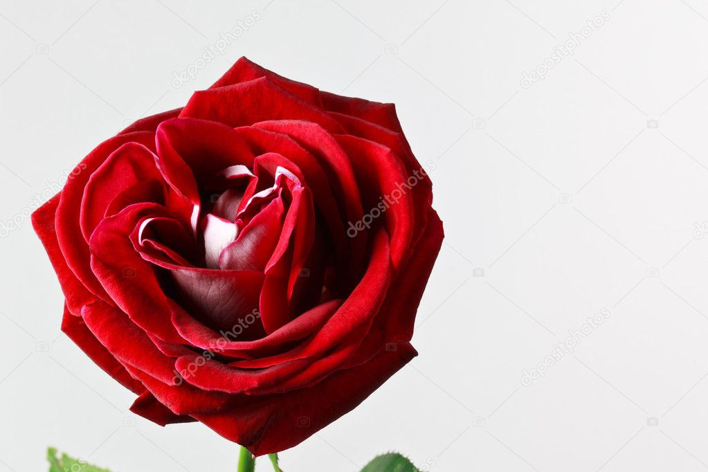 Beautiful red rose isolated on white background — Stock Photo #8408108