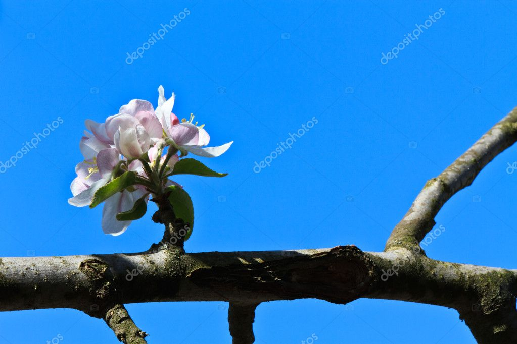 A branch of apple blossoms on a blue sky — Stock Photo #8444970