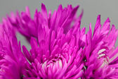 Kasımpatı çiçekleri — Stok fotoğraf