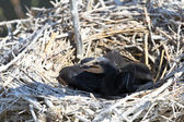 Cormorant chicks (phalacrocorax carbo ) — Stock Photo