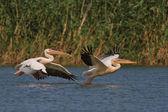 Bílých pelikánů v letu — Stock fotografie