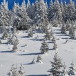Forest with pines in winter — Stock Photo #8558039