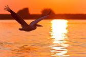 Pelican in flight — Stock Photo