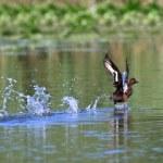 Wild duck — Stock Photo #8741867