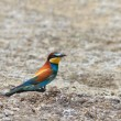 Europebee eater — Stock Photo #8770423