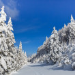 Stock Photo: Forest with pines in winter
