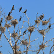 Stock Photo: Cormorant nests in tree
