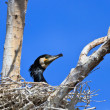 Stock Photo: Cormorant (phalacrocorax carbo ) on nest