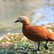 Stock Photo: Ruddy Shelduck