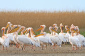 Pelicans in the Danube Delta — Stock Photo