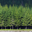 Pine forest — Stock Photo #8904965