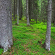 Pine forest — Stock Photo #8928684