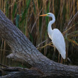 Great white egret - 图库照片