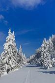 Skog med tallar på vintern — Stockfoto