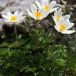 Stock Photo: Mountain flowers