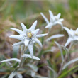 Edelweiss — Stock Photo #9159618