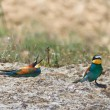 Europebee eater — Stock Photo #9159820