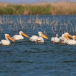 Stock Photo: Pelicans in Danube Delta