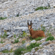 Chamois (Rupicapra Carpatica) — Stock Photo