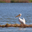 Stock Photo: Pelicin Danube Delta