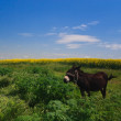 The donkey grazing — Stock Photo #9630985