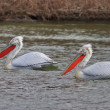 Dalmatian Pelicans (Pelecanus crispus) — Stock Photo