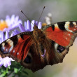 Butterfly feeding on purple flower — Stock Photo