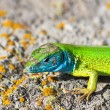 Green lizard - lacerta viridis — Stock Photo