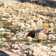 Stock Photo: Mandarin Duck Drake (Aix Galericulata)