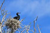 Cormorant (phalacrocorax carbo ) on nest — Stock Photo