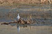 Little egret (egretta garzetta) — Fotografia Stock