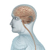 Human brain and body wire model — Stock Photo