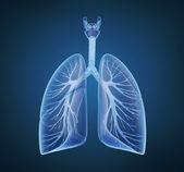 肺-肺系统. — 图库照片