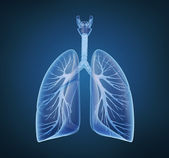 Lungs - pulmonary system. — Stock Photo