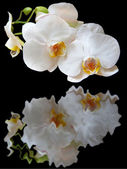 Reflection of white orchids — Stock Photo