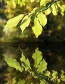 Reflection of leaves — Stock Photo