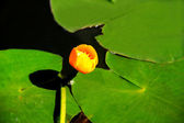 Yellow waterlily — Stock Photo
