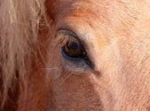 Eye of a horse — Stock Photo