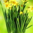 Daffodils of spring — Stock Photo