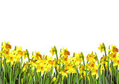 Border of daffodils — Stock Photo