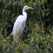 Egret in tree green — Stockfoto