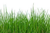 Grass on white background horizontal — Stock Photo
