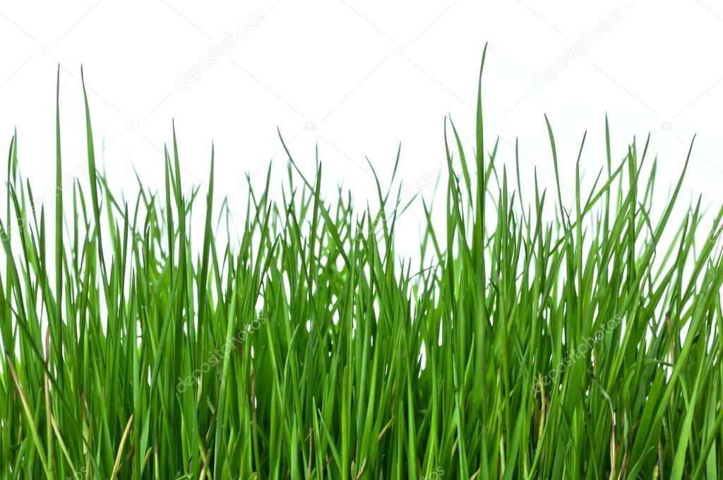 Green and lush grass on white background, horizontal composition — Stock Photo #10361766