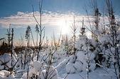 日光の小さいトウヒ — ストック写真
