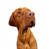 Weimaraner Jagdhund brown Ungarisch Rassehund tier — Stock Photo