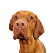 Weimaraner Jagdhund brown Ungarisch Rassehund tier — Stock Photo