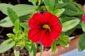 Red flower with green leaves — Stock Photo