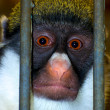 Caged Monkey — Foto Stock