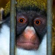 Caged Monkey — Stockfoto